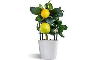Cómo cultivar limoneros Meyer en macetas